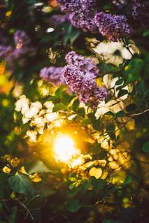 #261 - Lilac / Šeřík