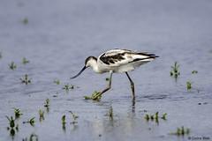 Young Avocet (Corine Bliek) Tags: recurvirostraavosetta bird birds vogel vogels nature natuur wildlife waders steltlopers waterbirds water lake meer