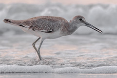 Willet (western) (Kevin Fox D500) Tags: stoneharbor stoneharborpoint shorebirds shorebird bird birding birdwatching birds sigma150600sport sigma nature nikond500 nikon newjersey ocean water wildlife willet