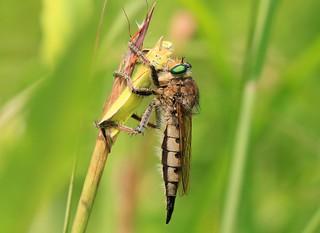 robber fly (Promachus vertebratus) female at Hayden Prairie State Preserve IA 653A0880