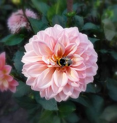 Dahlia -3- (mamietherese1) Tags: world100f earthmarvels50earthfaves