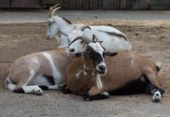 Zoo-Park Arche Noah in Grömitz/Ostsee (Helmut44) Tags: deutschland germany schleswigholstein grömitz ostsee zoo archenoah tierwelt animal ziege haustier