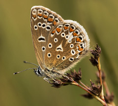 Common Blue (f) (PhilDL) Tags: commonblue female underwing britishbutterflies butterfly butterflies britishlepidoptera britishbutterflyconservation butterfliesandmothsofgreatbritain butterfliesofbritain lepidoptera nature naturereserves botleywoods ukbutterflies uk insect