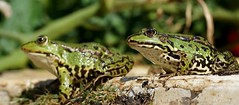 Frosch  / frog (5) (Ellenore56) Tags: 12082018 frosch frösche frog frogs lurch wasserfrosch grünfrosch teichfrosch pelophylax rana amphibian amphibie amphibien wasser water tier animal tiere animals lebewesen creature froggi fauna tierwelt pelophylaxesculentus natur nature emotion detail moment augenblick sichtweise perception perspektive perspective reflektion reflection reflexion farbe color colour licht light inspiration imagination faszination magic magical sonyslta77 ellenore56 sonntag sunday sun sonne