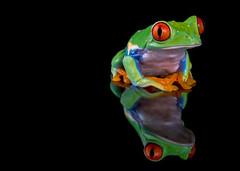 Red-Eyed Tree Frog, CaptiveLight, Ringwood, Hampshire, UK (rmk2112rmk) Tags: redeyedtreefrog captivelight treefrog frog amphibian agalychniscallidryas reflection black animal herps
