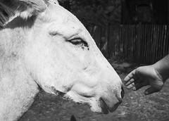 Contact (Ren-s) Tags: farm ferme animal hand main man homme âne donkey eye oeil poil hair fingers doigts nature contact nose nez mouth bouche noir blanc black white noiretblanc noirblanc blackandwhite blackwhite bnw bw nb brussel bruxelles belgique belgium europe summer été new sunny ensoleillé light lumière naturel natural douceur softness olympus em10 lumix lumixg horse cheval