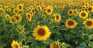 Sunflowers, Aug 9th 2018.  #sunflower #auringonkukka #kukka #flower #auringonkukkapelto #sunset #auringonlasku #helsinki #haltiala #visithelsinki #sonyxperiaxz2 #mobileshot #justanothermobileshot #aspmas