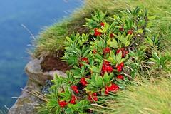 WAWRZYNEK WILCZEŁYKO (Daphne mezereum) 1 (goolary) Tags: flowers beskidy kwiaty przyroda góry