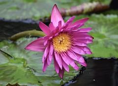 Water Lily #2 (MJ Harbey) Tags: flower water waterlily hotpinkwaterlily hotpink kewgardens royalbotanicgardenskew unescoworldheritagesite nymphaeaceae waterlilyhouse waterlilyhousekew london nikon d3300 nikond3300