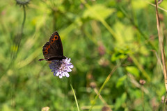 Butterfly (Carandoom) Tags: macro photo butterfly flower close up 2018 summer switzerland