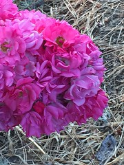 Very open tea roses in August heat wave (mohuski) Tags: heatwave noeditingexceptcropping nature tearoses flowers