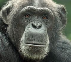 chimpanzee Amber artis JN6A1551 (j.a.kok) Tags: chimpansee chimpanzee pantroglodytes animal artis africa afrika aap ape primate primaat mammal monkey mensaap zoogdier dier amber