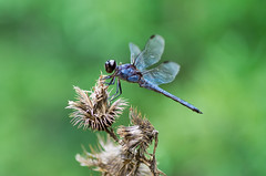 the blue dragon fly (Ginny Williams Photography) Tags: nc northcarolina northcarolinaphotographer blue dragonfly invertebrates wings insect bokeh macro nature bugs insects bluedragonfly greatblueskimmerdragonfly blueskimmer