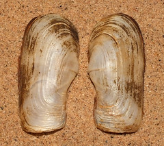 Lantern clam (Laternula rostrata) (shadowshador) Tags: lantern clam laternula rostrata neomura eukaryota opisthokonta holozoa filozoa animalia eumetazoa bilateria protostomia lophotrochozoa mollusca conchifera bivalvia heterodonta anomalodesmata thracioidea laternulidae conchology malacology invertebrate invertebrates taxonomy scientific classification biology sea shell shells sand sandy beach wildlife life