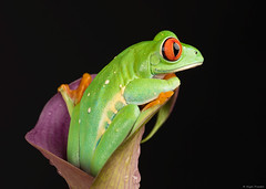 w-red-eyed-tree-frog-2 (thirsty_camel) Tags: macro canon 5d frog green eyed tree treefrog