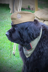 The Loyal Canadian (big_jeff_leo) Tags: reenactment ww2 war military 1940s dog newfoundland