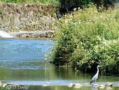 Le pêcheur de l'Arnon (Jean-Daniel David) Tags: rivière arnon oiseau oiseaudeau héroncendré vert verdure bleu eau suisse suisseromande vaud reflet nature herbe pelouse nordvaudois pierre mur