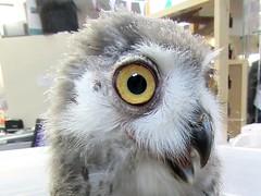 Baby snowy owl (billnbenj) Tags: barrow cumbria owl raptor birdofprey snowyowl