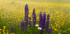 Lupine and Daisies (trkosha) Tags: lupine daisies field abstract yellow purple nh new hampsire flowers fields
