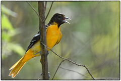 Baltimore Oriole (RKop) Tags: armlederpark ohio nikkor600f4evr 14xtciii raphaelkopanphotography wildlife