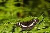Papillon (bebopeloula) Tags: photorobertcrosnier 2018 89 bourgogne europe faune france nikond700 pontigny yonne animaux couleurs extérieur forêt fougère insecte invertébrés macro papillon plante