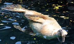 californian sealion Blijdorp JN6A6607 (j.a.kok) Tags: zeeleeuw californischezeeleeuw californiansealion sealion animal blijdorp mammal zoogdier dier predator