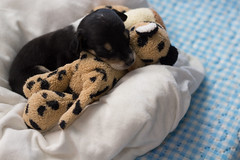 Baby dog (nnessies) Tags: dog babydog littledog littleangel minimalist photo shot animal canon angel puppy 50mm bokeh bokehefect efeitobokeh