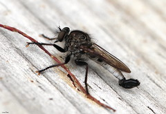 """Robby"" (Lisa Zins) Tags: tamronmacrolens macro bug insect tennesseeinsects south robber robberfly assassinfly assassin fly diptera insecta arthropoda asilidae promachus hinei sixlegs predator beekiller hexapoda summer 2018 outdoors nature tennesseerobberfly flies lisazins tn tennessee tamron"