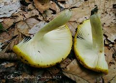 Russula ochroleucoides Kauffman (Claude Kaufholtz-Couture) Tags: russulaochroleucoides champignons fungi fongi mushrooms pilze mycology mycologie pilzkunde