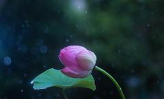 Heavy Rain (keiko*has) Tags: 7dwf wednesday macro rain typhoon lotus