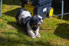 CPVG Dogs Trust Event (Claire Louise Beyga) Tags: croxtethpark croxteth croxtethhall croxtethcountrypark croxtethhallcountrypark par park cpvg croxtethparkvolunteergroup dogs trust dogstrust microchipping health checks vet nurse dog fun play plytime playtime leads outdoors outdoor nature summer august 8082018 080818 labrador mastiff lassie bulldog event community walkers westderby
