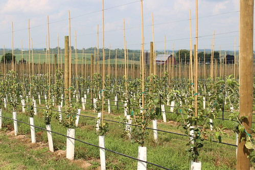 A new planting of Honeycrisp in growth tubes.