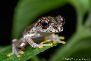 Warty Bright-Eyed Frog