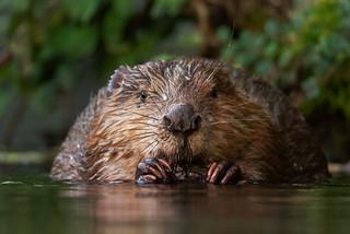 Biber/ Beaver