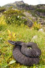 Vipera berus - melanistic specimen (Gabriele Carabus Motta) Tags: snake europeanadder marasso vipera venomous nature wildlife mountain alps wide angle macro summer