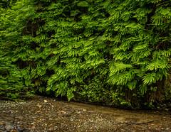 Fern Canyon at Redwood National Park (nebulous 1) Tags: ca california ferncanyon rnp redwoodnationalpark ferns leaves redwoodtrees tree fernwall walk wet boots rocks logs wetfeet joy fabulous wonderful beautiful nikon nebulous1 glene