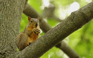 Squirrel, Cantigny Park. 57 (EOS)