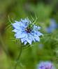 Wild Imagination (Katrina Wright) Tags: dsc0776 flower blue loveinamist nigella macro dof spring colour green petals pattern texture
