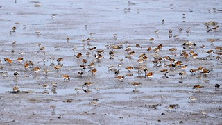Ruddy Turnstone, Red Knot, Semipalmated Sandpiper and Dunlin