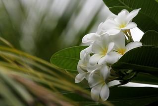 Plumeria ou Tipanier Singapour sur fond de feuilles de Cocotier à Moorea