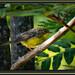 Wilsonia canadensis (Canada Warbler/Paruline du Canada)
