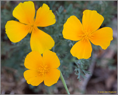 Summer Delight (maguire33@verizon.net) Tags: california californiapoppy eschscholziacalifornica orange poppy wildflower wildflowers