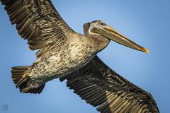 Pelican In Flight (lycheng99) Tags: pelican bird birdphotography birdinflight wings feather fly flight wildlife alameda alamedaca beak animal