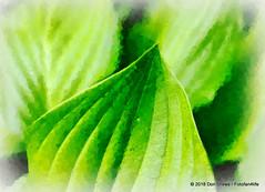 (Fotofan4life) Tags: hosta fotosketcher garden perennial creativephotography smc pentaxa 3570