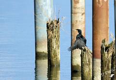 Cormoran à l'embouchure de La Thièle (Jean-Daniel David) Tags: oiseau oiseaudeau eau lac lacdeneuchâtel yverdonlesbains suisse suisseromande vaud perchoir bois reflet rivière lathièle pieux cormoran