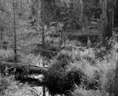 Wilderness along the Reschbach (str.ainer) Tags: reschbach wilderness wildniss nationalpark bayerischerwald bavarianforest film mamiya rb67 sekorc90mm ilford fp4 moersch ecofilmdeveloper hugin gimp