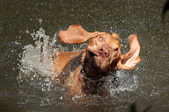 Tygo, enjoying a swim (2) (K.Verhulst) Tags: tygo pointer hond dog pet huisdier vizsla ommoordseveld