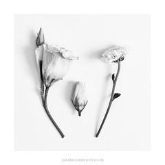 Family (Amar Sood) Tags: amarsoodphotocom amarsoodphotography flowers fineart blackandwhite whiteandblack mono monochrome square botanical minimal minimalist sony a7rii nikkor 247028 fullframe