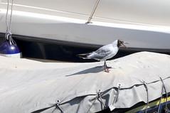 Il gabbiano stride... (BrigitteChanson) Tags: mouette gabbiano gaviota gull uccello