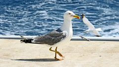Greece, Macedonia, Aegean Sea, seagull on the boat cruising around Mount Athos peninsula (Macedonia Travel & News) Tags: greecemacedonia agiooros cruise chalkidiki aegeansea macedoniatravel greece makedonia macedoniatimeless macedonian macédoine mazedonien μακεδονια ancient greek culture vergina sun blog star thessaloniki hellenic republic prilep tetovo bitola kumanovo veles gostivar strumica stip struga negotino kavadarsi gevgelija skopje debar matka ohrid mavrovo heraclea lyncestis history alexander great philip macedon nato eu fifa uefa un fiba macedonianstar verginasun macedoniapeople macedonians peopleofmacedonia macedonianpeople macedoniablog macedoniagreece timeless македонија macedonianews macedoniapress македонијамакедонскимакедонци tourisminmacedonia
